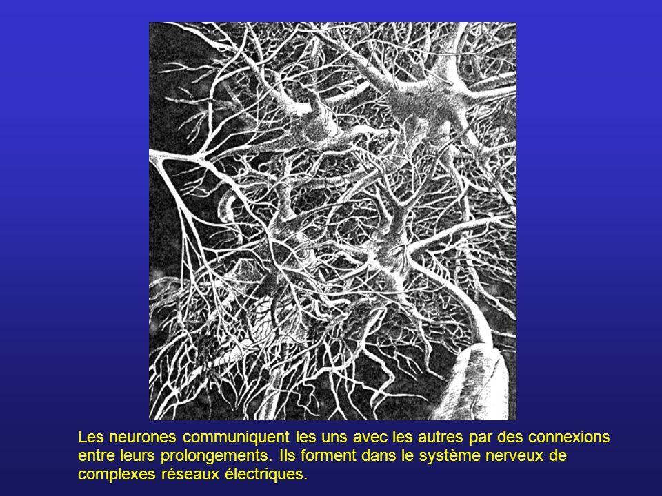 Les neurones communiquent les uns avec les autres par des connexions entre leurs prolongements.