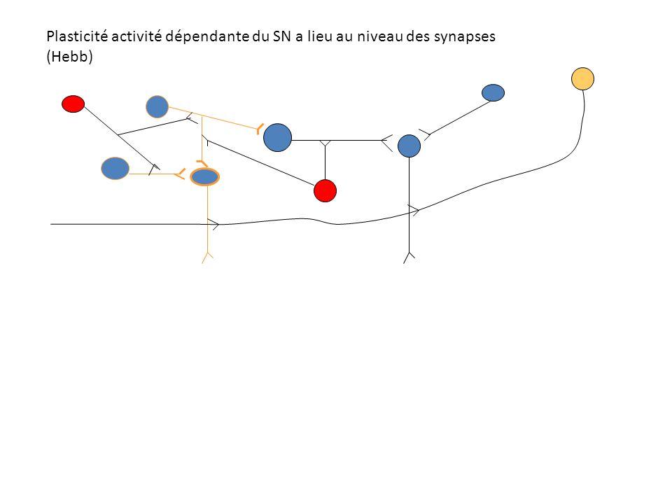 Plasticité activité dépendante du SN a lieu au niveau des synapses