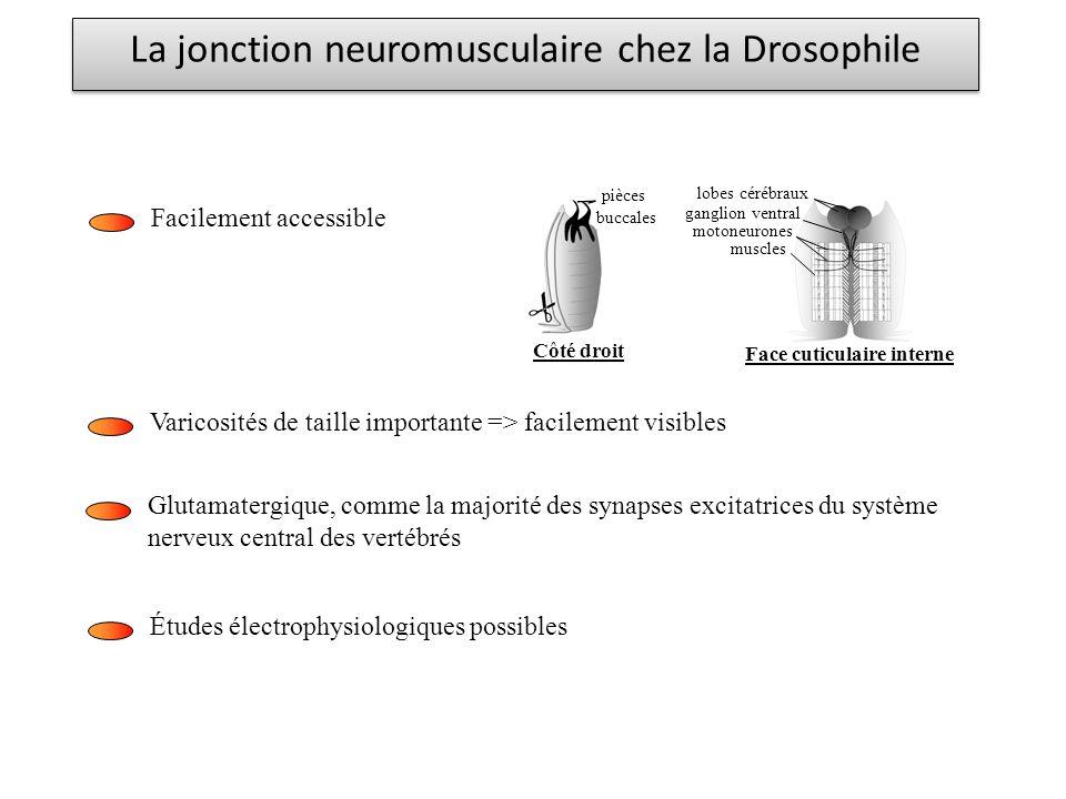 La jonction neuromusculaire chez la Drosophile