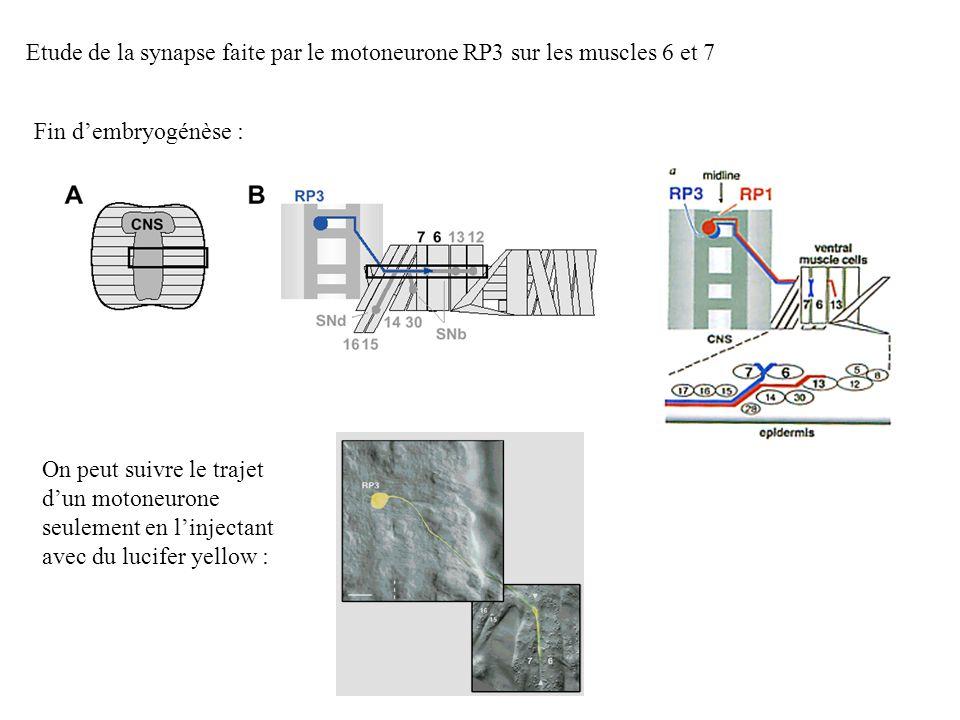 Etude de la synapse faite par le motoneurone RP3 sur les muscles 6 et 7