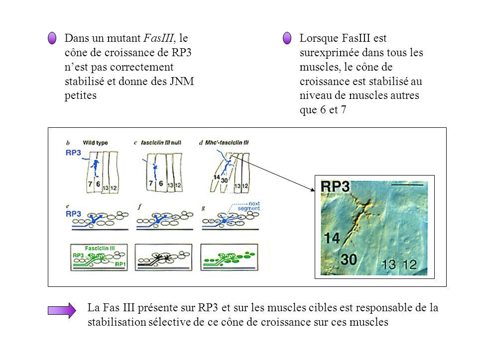 Dans un mutant FasIII, le cône de croissance de RP3 n'est pas correctement stabilisé et donne des JNM petites