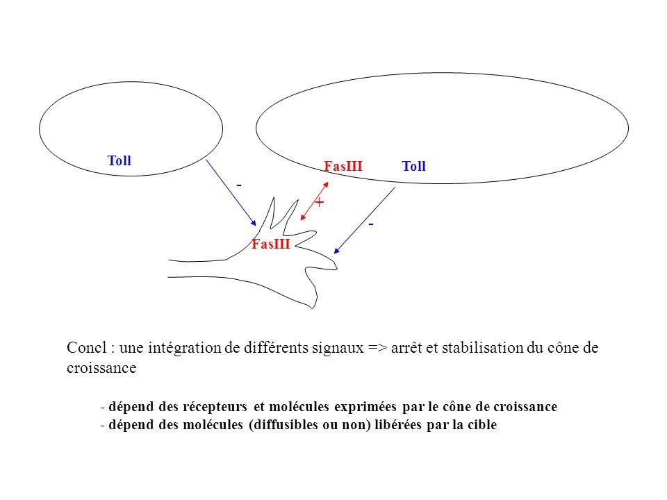 Toll FasIII. Toll. - + - FasIII. Concl : une intégration de différents signaux => arrêt et stabilisation du cône de croissance.