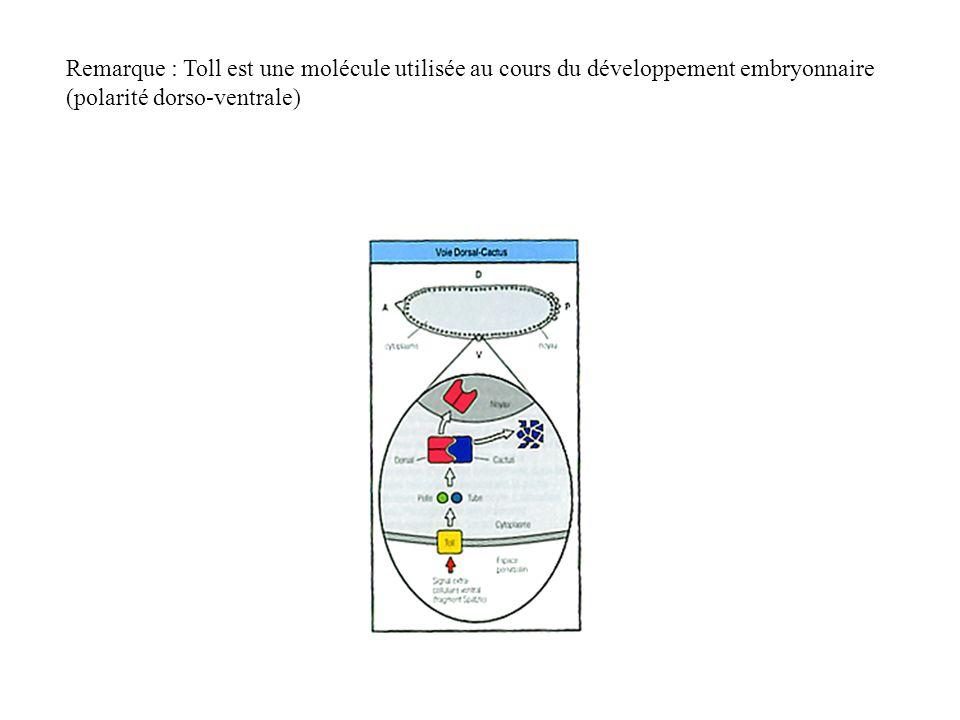 Remarque : Toll est une molécule utilisée au cours du développement embryonnaire (polarité dorso-ventrale)