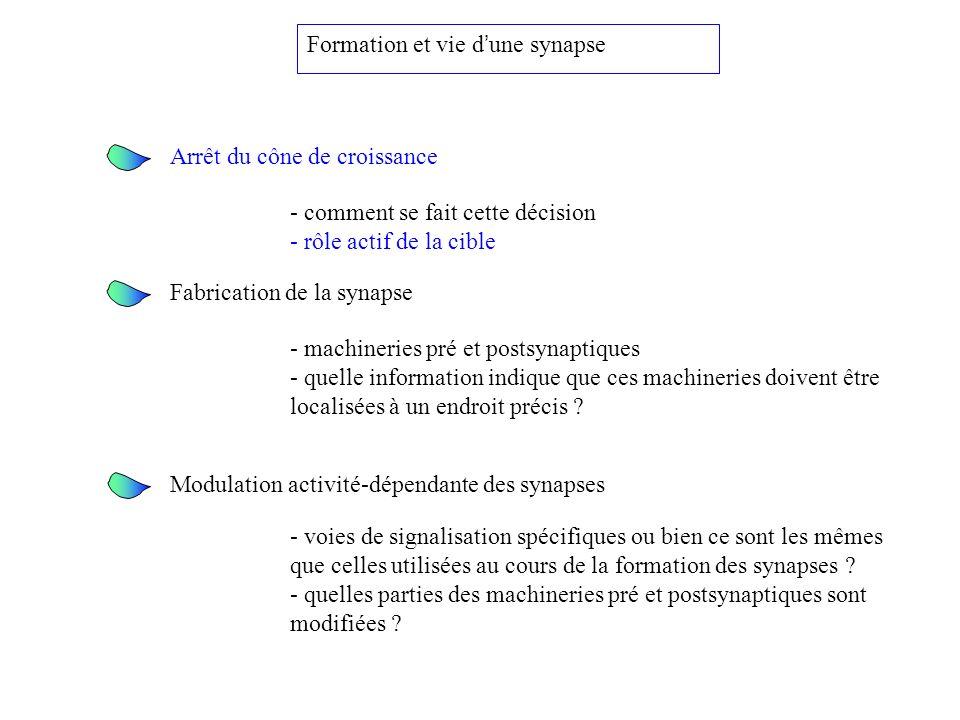 Formation et vie d'une synapse
