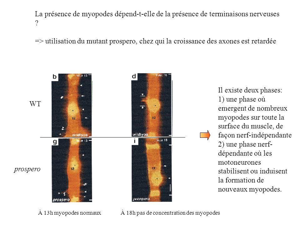 La présence de myopodes dépend-t-elle de la présence de terminaisons nerveuses