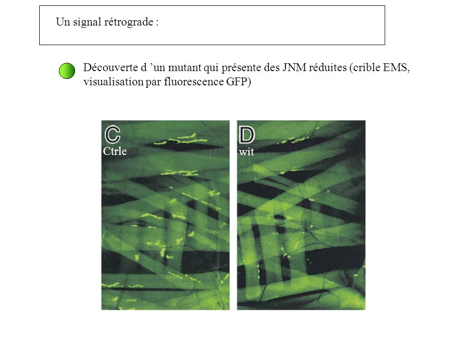 Un signal rétrograde : Découverte d 'un mutant qui présente des JNM réduites (crible EMS, visualisation par fluorescence GFP)