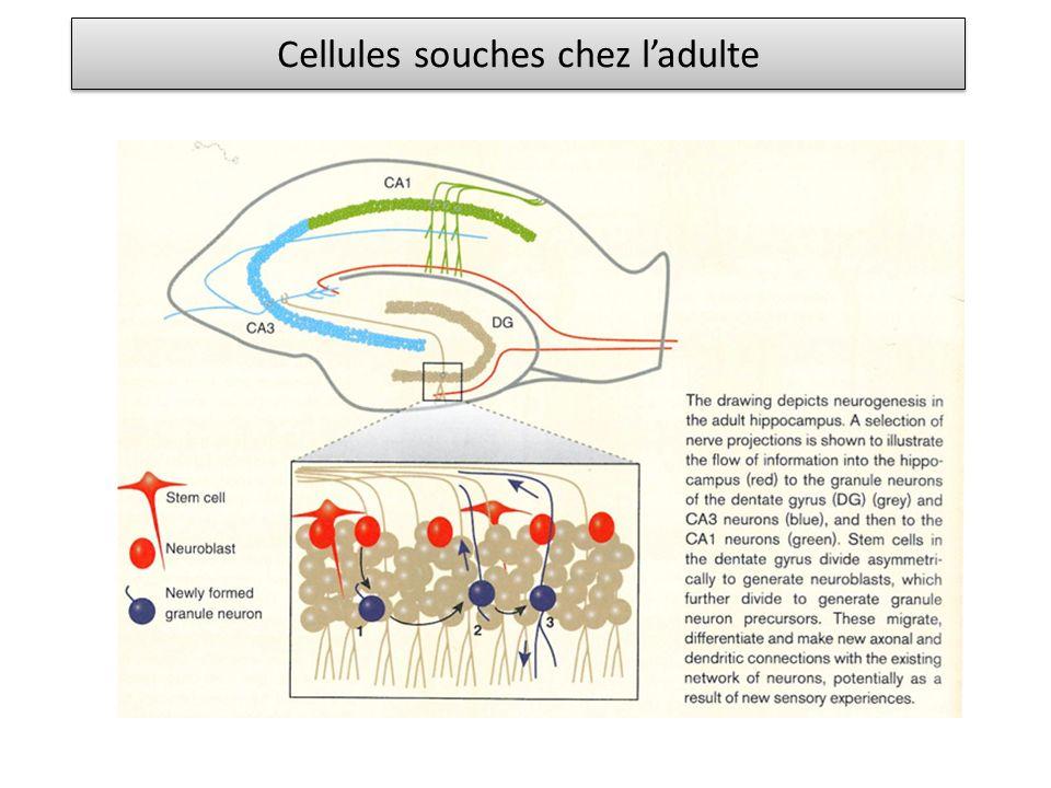 Cellules souches chez l'adulte