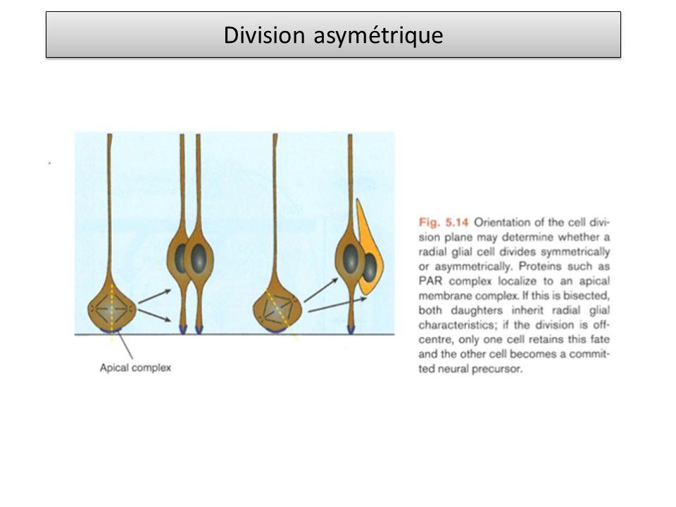 Division asymétrique