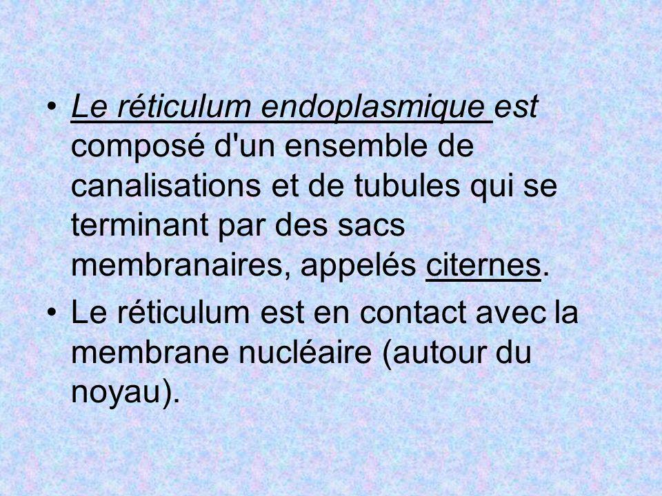 Le réticulum endoplasmique est composé d un ensemble de canalisations et de tubules qui se terminant par des sacs membranaires, appelés citernes.