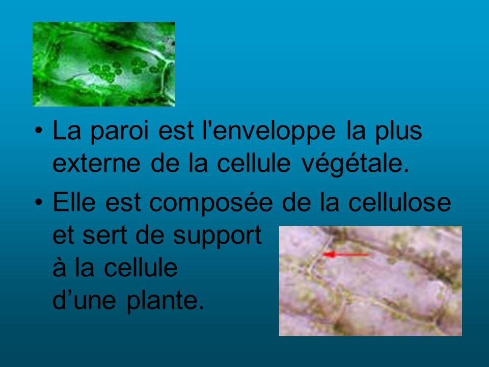 La paroi est l enveloppe la plus externe de la cellule végétale.