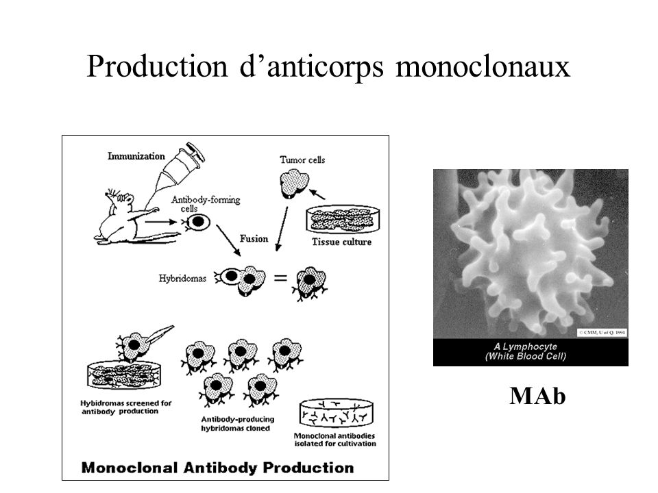 Production d'anticorps monoclonaux