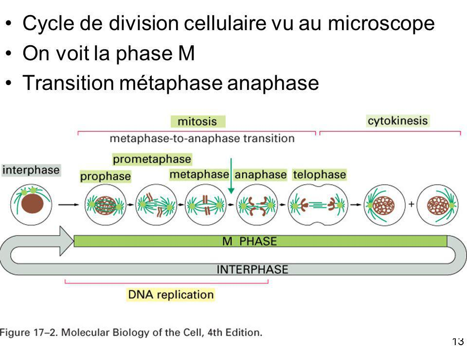 Fig 17-2 Cycle de division cellulaire vu au microscope
