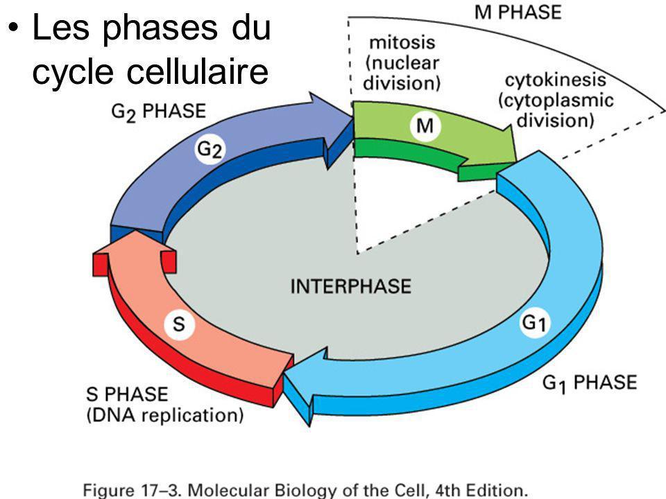 Les phases du cycle cellulaire