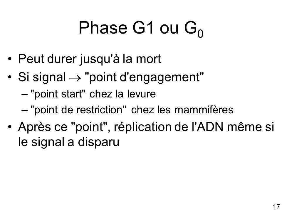 Phase G1 ou G0 Peut durer jusqu à la mort