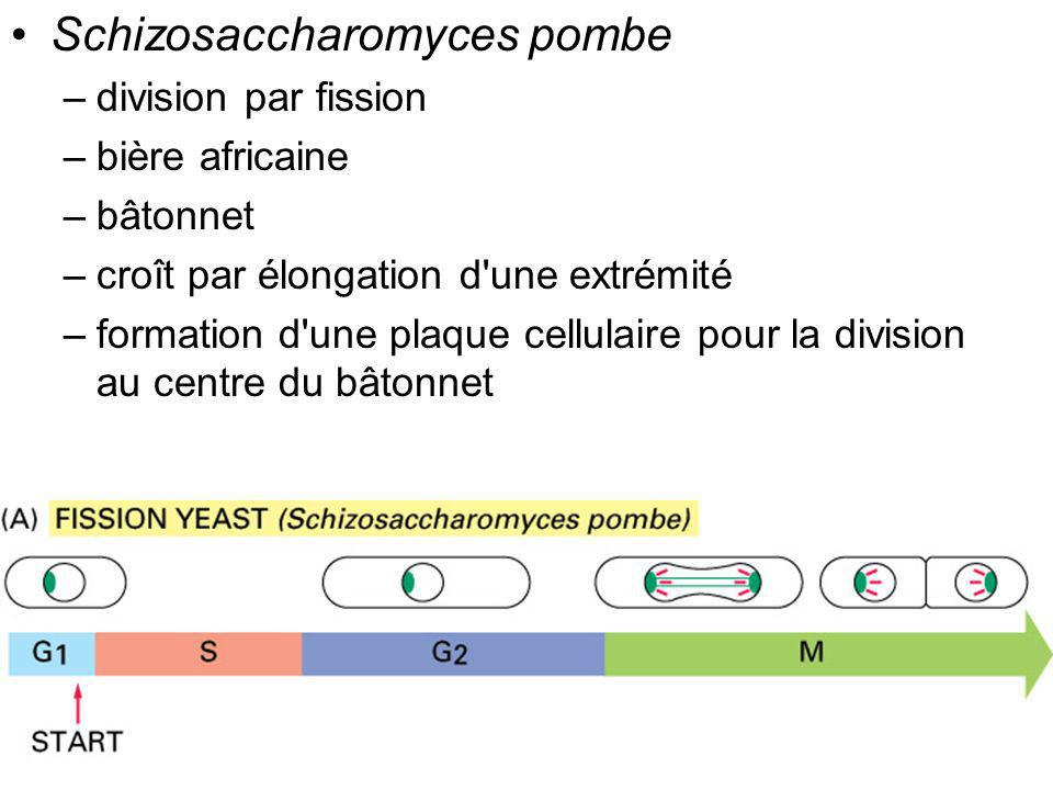 Fig 17-4 Schizosaccharomyces pombe division par fission