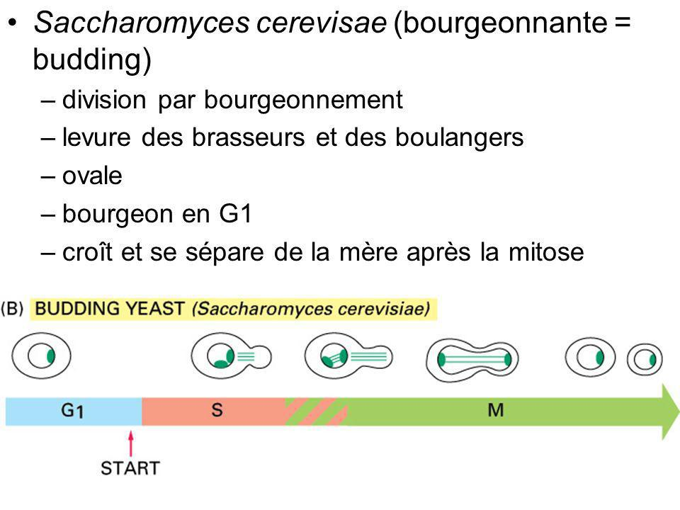 Fig 17-4 Saccharomyces cerevisae (bourgeonnante = budding)