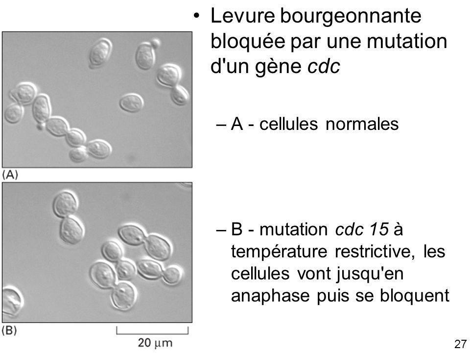 Fig 17-6 Levure bourgeonnante bloquée par une mutation d un gène cdc