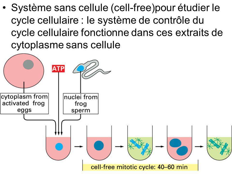 Système sans cellule (cell-free)pour étudier le cycle cellulaire : le système de contrôle du cycle cellulaire fonctionne dans ces extraits de cytoplasme sans cellule