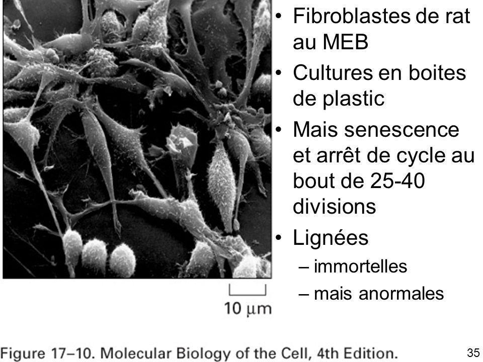 Fig 17-10 Fibroblastes de rat au MEB Cultures en boites de plastic