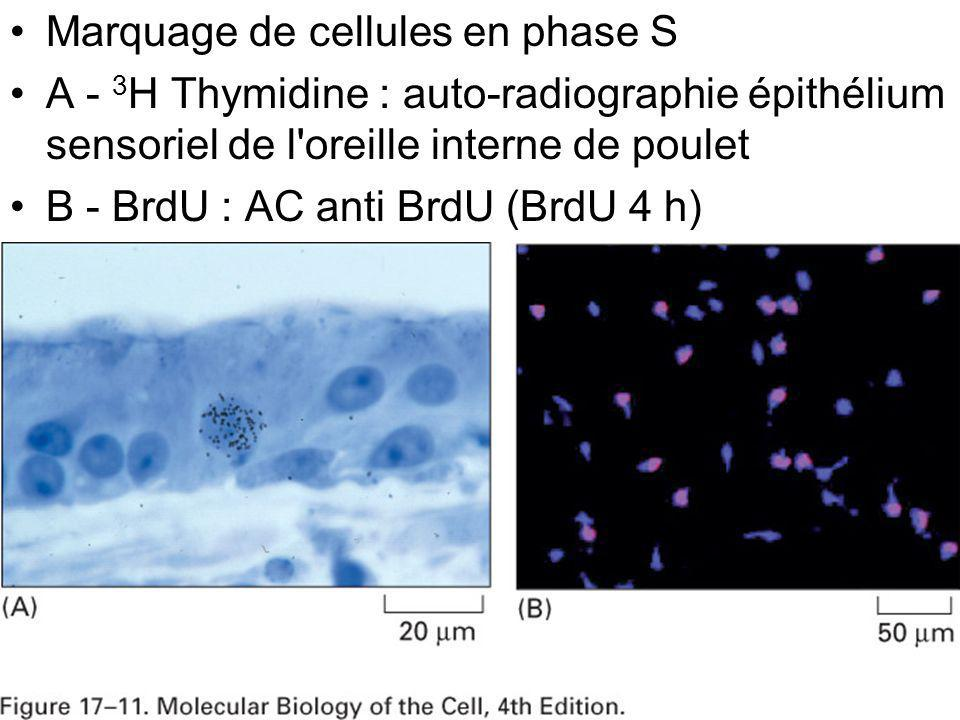 Fig 17-11 Marquage de cellules en phase S