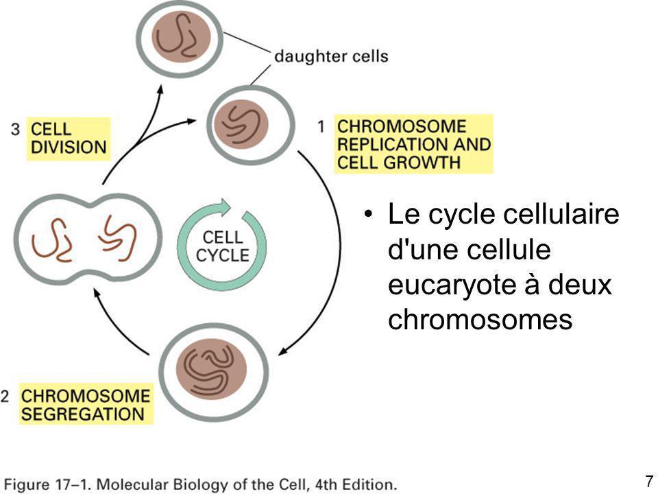 Mardi 22 janvier 2008 Le cycle cellulaire d une cellule eucaryote à deux chromosomes Fig 17-1