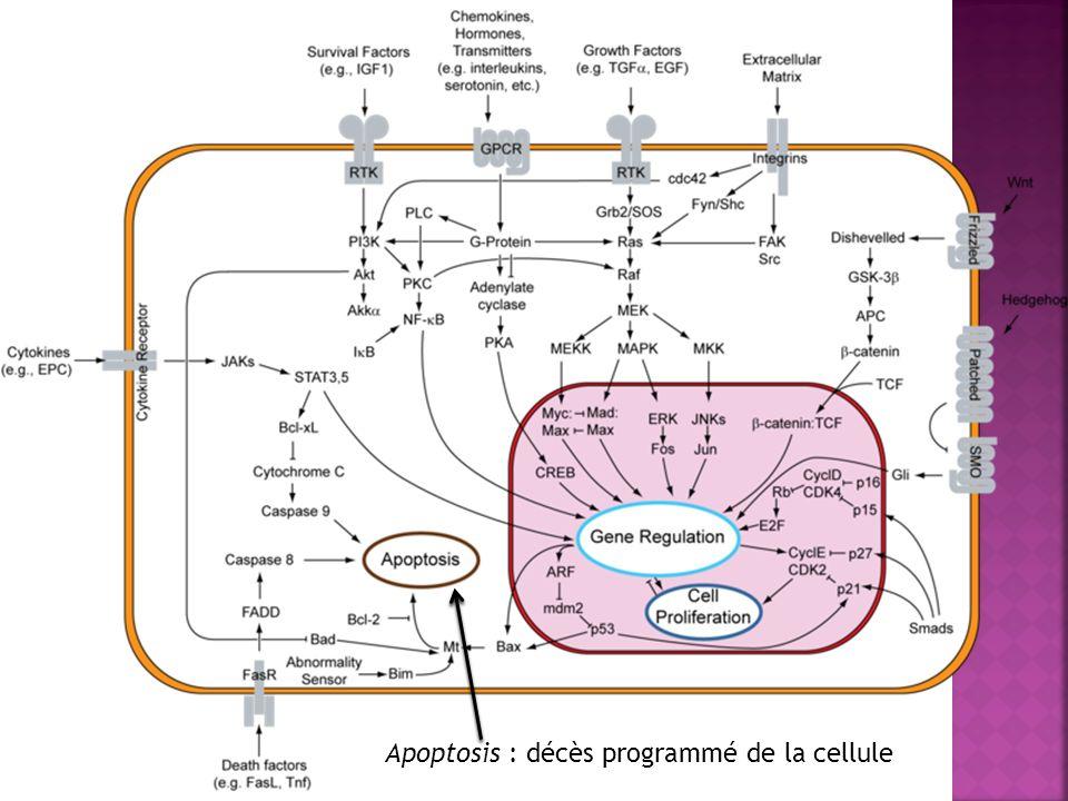 Apoptosis : décès programmé de la cellule