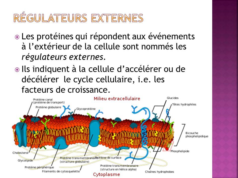 Régulateurs externes Les protéines qui répondent aux événements à l'extérieur de la cellule sont nommés les régulateurs externes.