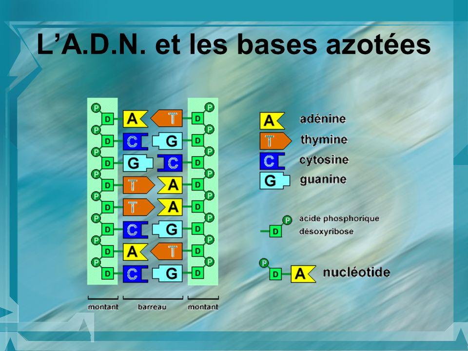 L'A.D.N. et les bases azotées