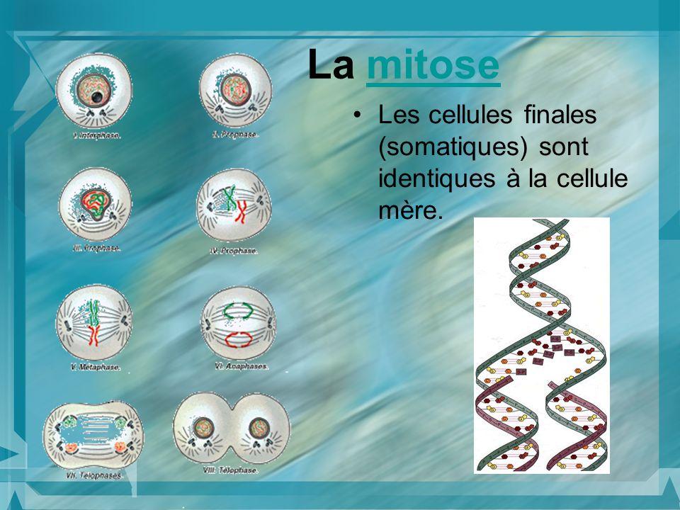 La mitose Les cellules finales (somatiques) sont identiques à la cellule mère.