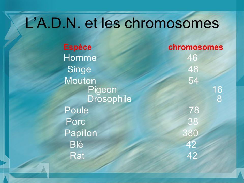 L'A.D.N. et les chromosomes