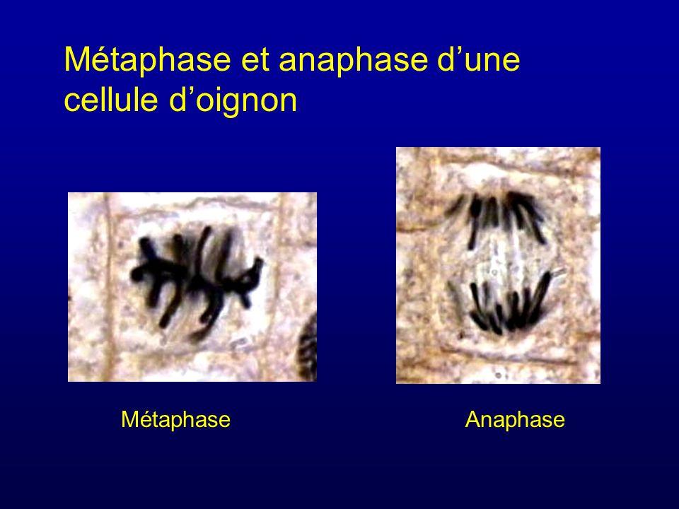 Métaphase et anaphase d'une cellule d'oignon