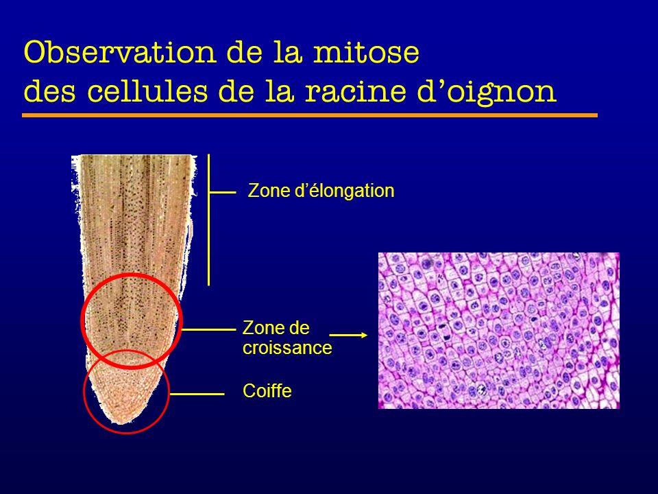 Observation de la mitose des cellules de la racine d'oignon
