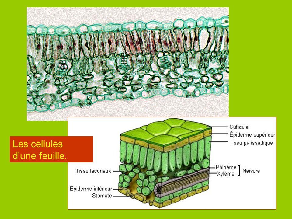 Les cellules d'une feuille.