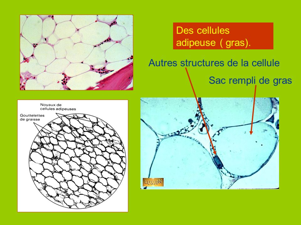 Des cellules adipeuse ( gras).
