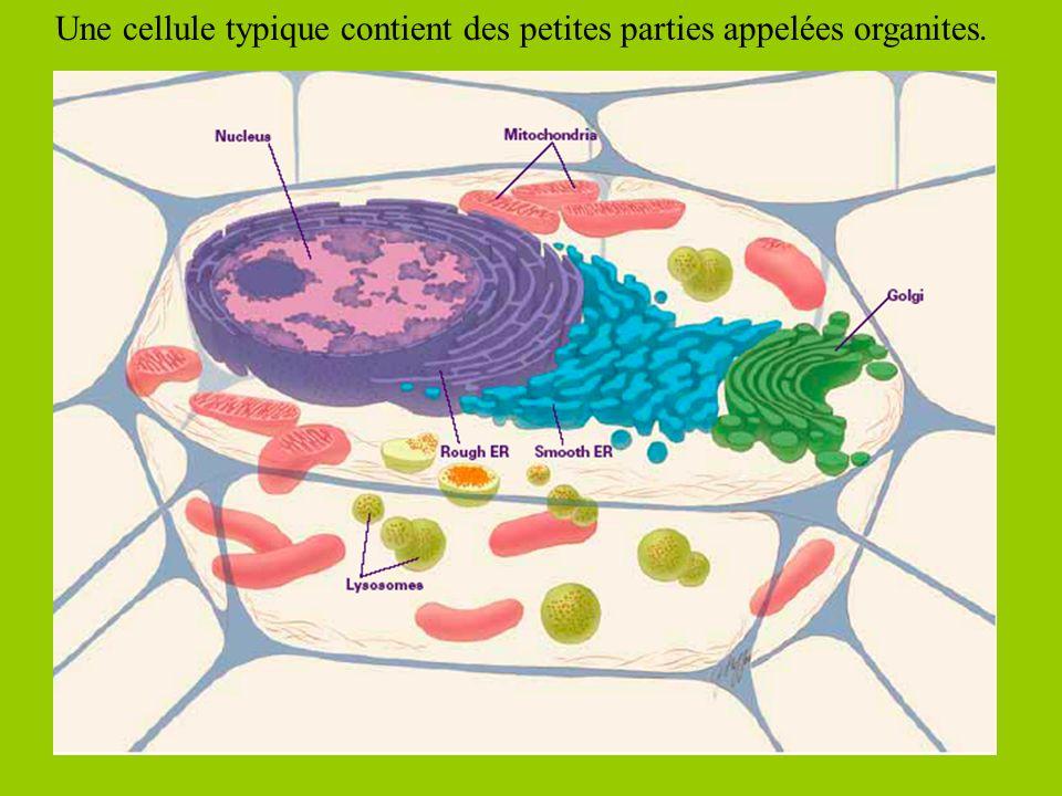 Une cellule typique contient des petites parties appelées organites.