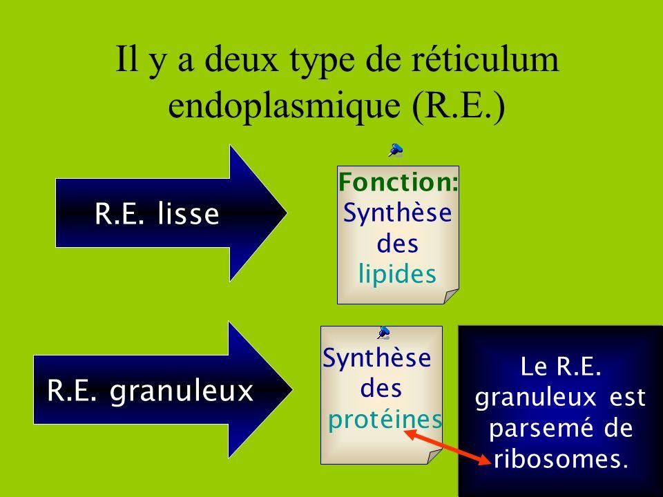 Il y a deux type de réticulum endoplasmique (R.E.)