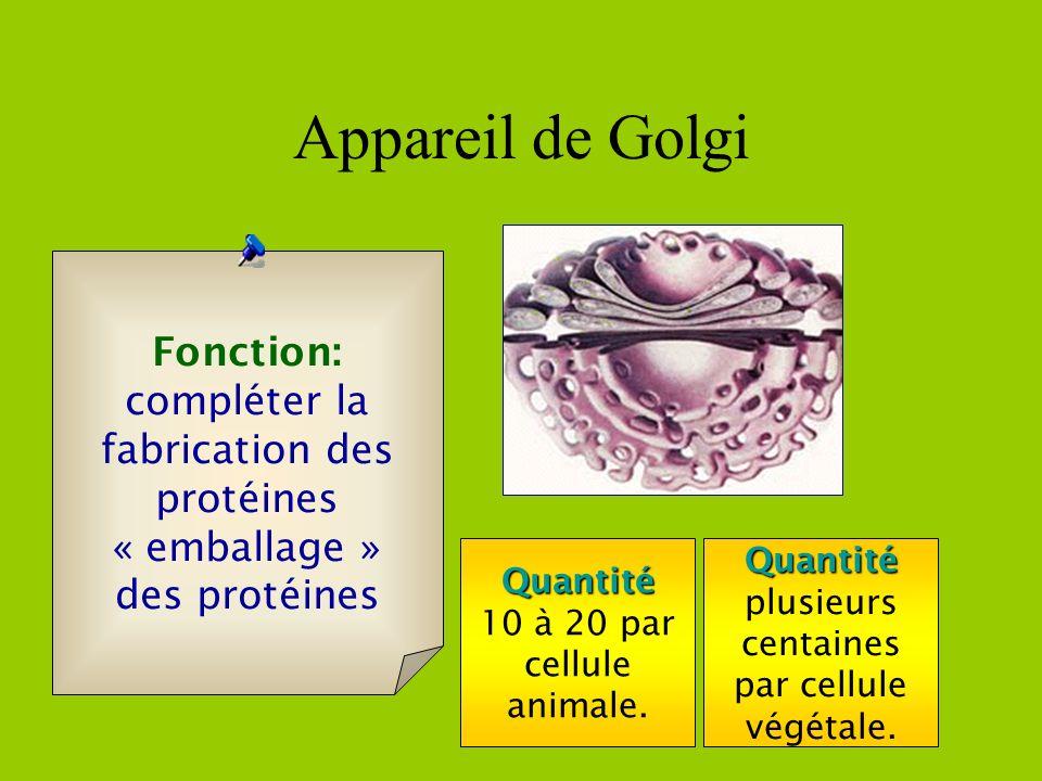 Appareil de Golgi Fonction: compléter la fabrication des protéines