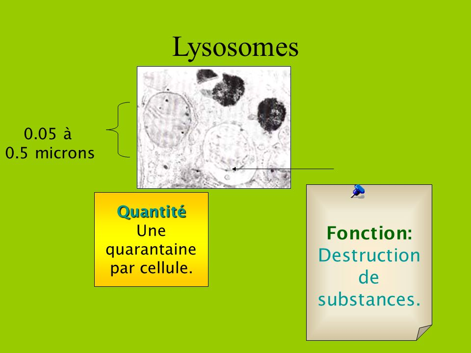 Lysosomes Fonction: Destruction de substances. 0.05 à 0.5 microns