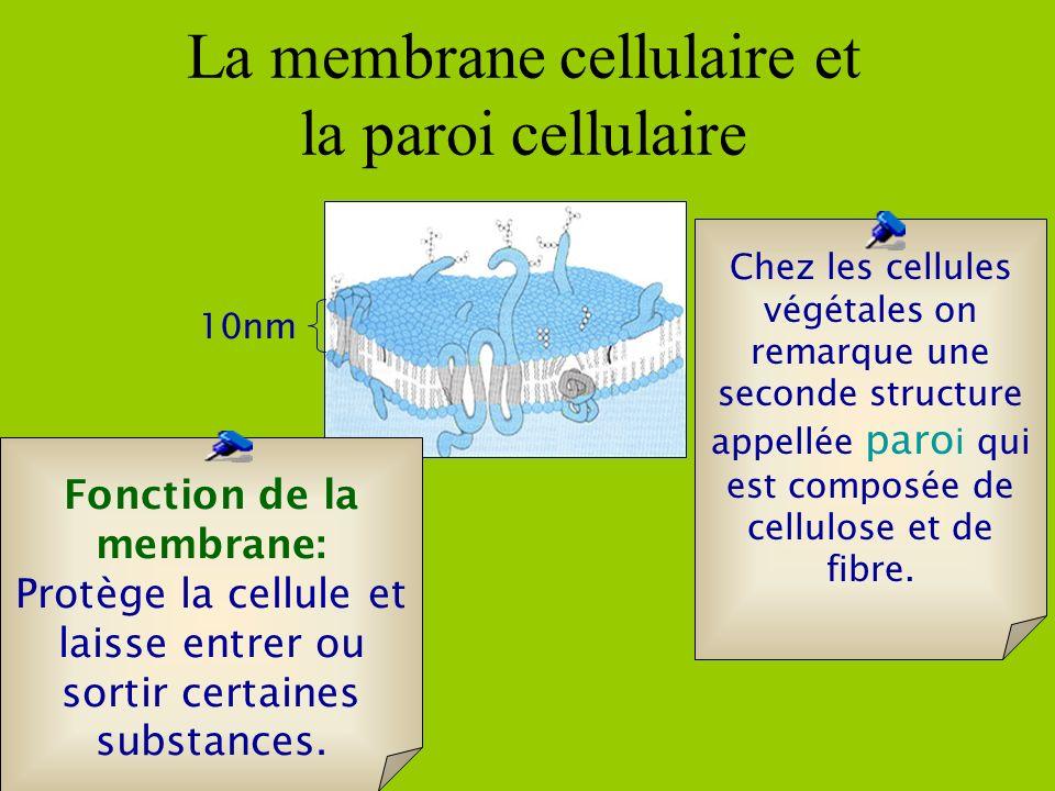 Fonction de la membrane: