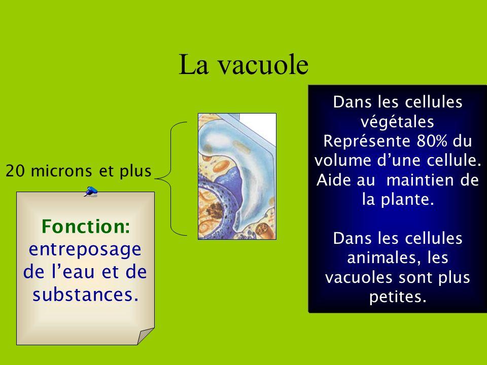 La vacuole Fonction: entreposage de l'eau et de substances.