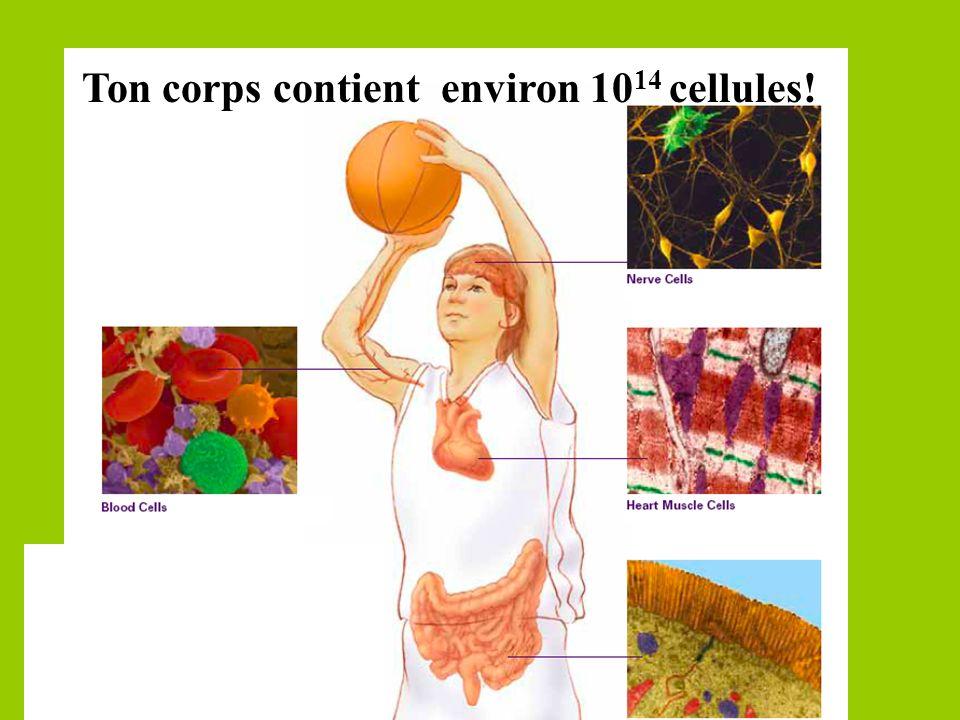Ton corps contient environ 1014 cellules!