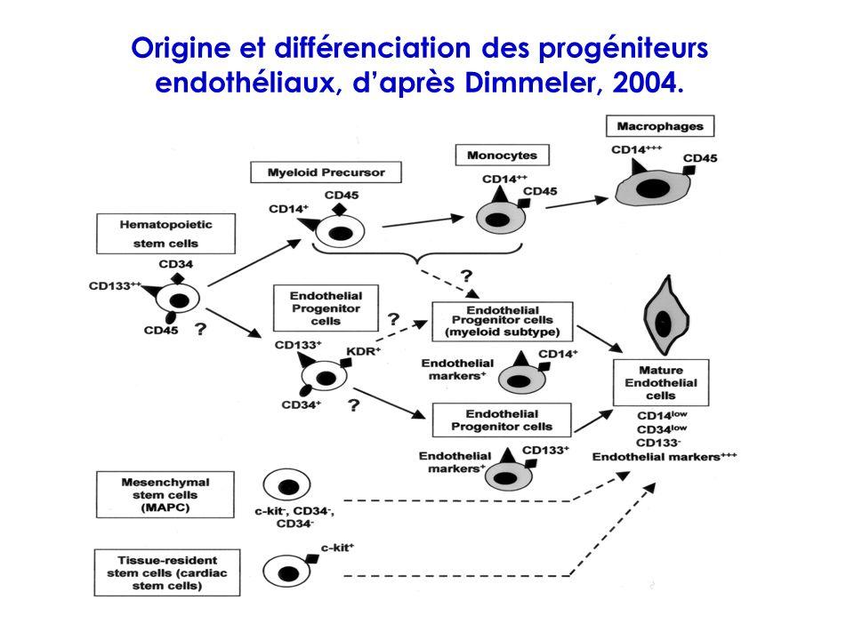 Origine et différenciation des progéniteurs endothéliaux, d'après Dimmeler, 2004.