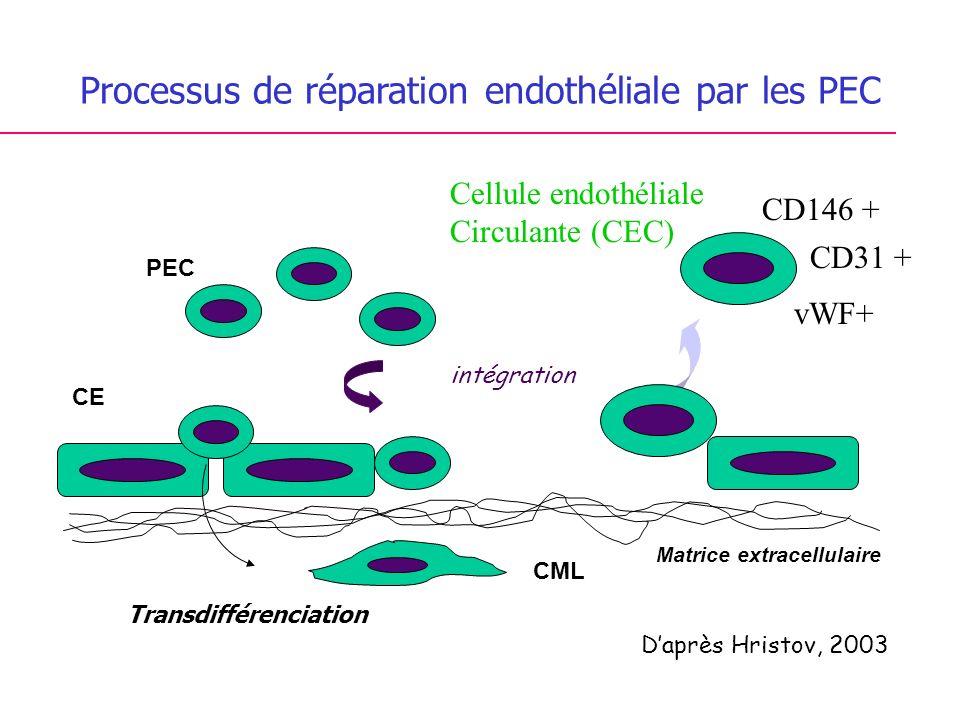 Processus de réparation endothéliale par les PEC