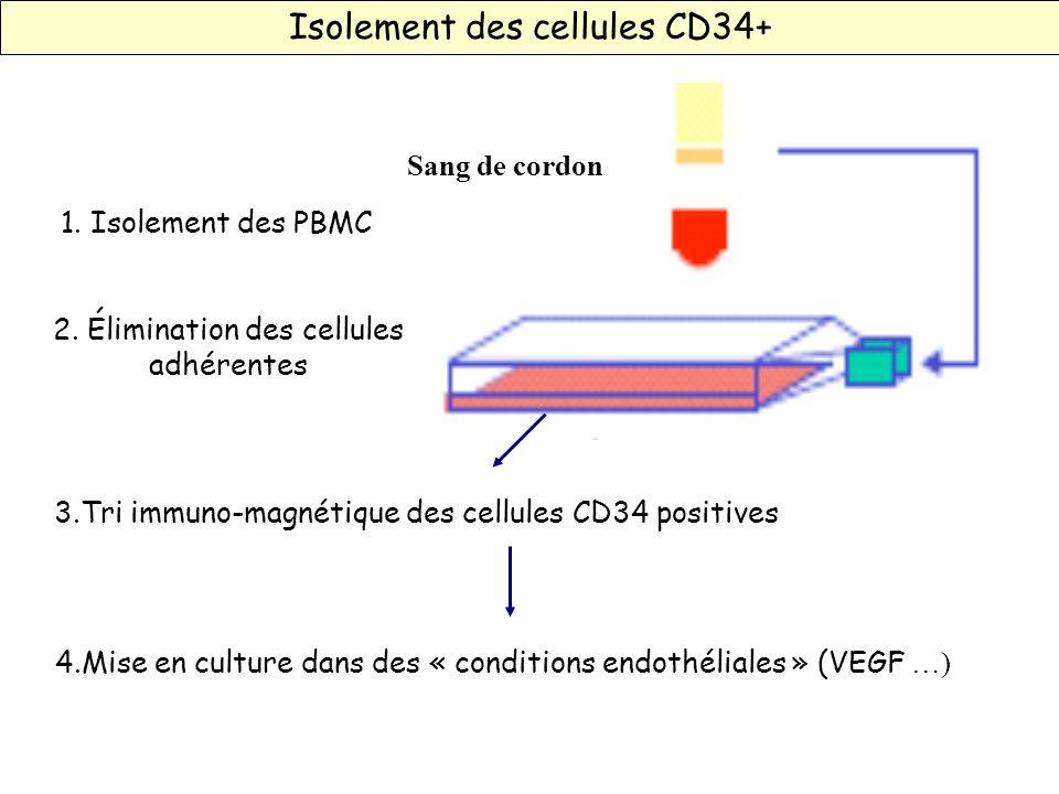 Isolement des cellules CD34+