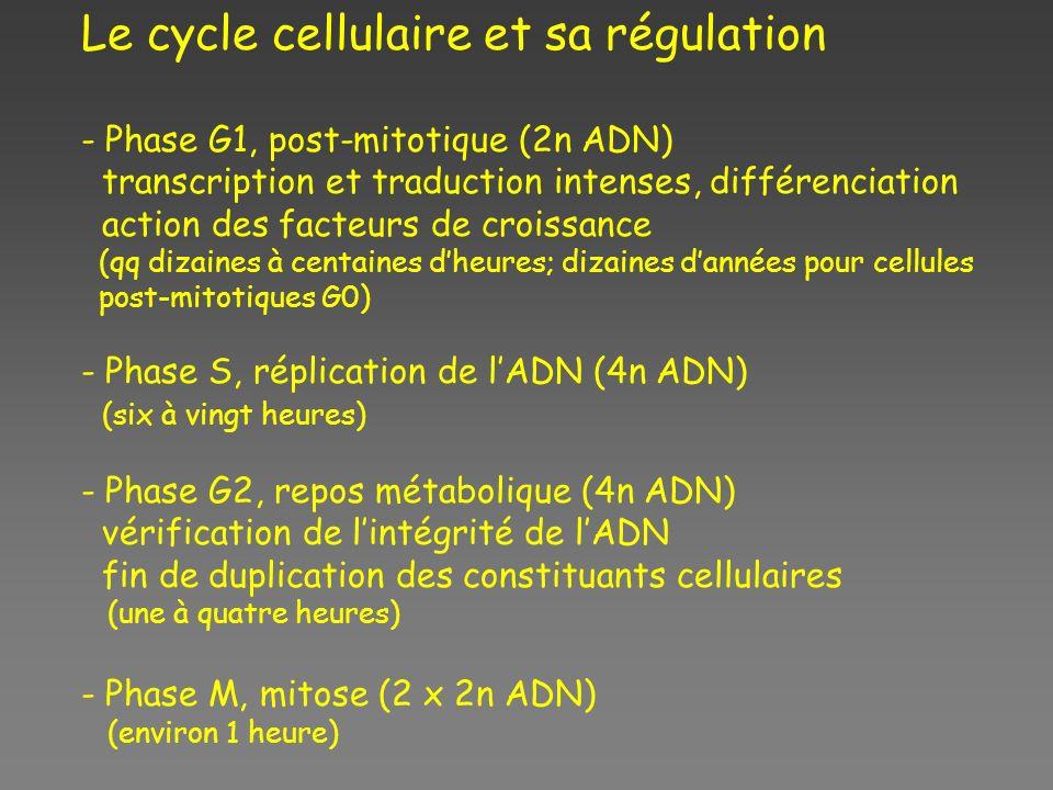 Le cycle cellulaire et sa régulation