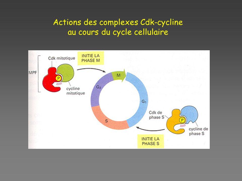Actions des complexes Cdk-cycline au cours du cycle cellulaire
