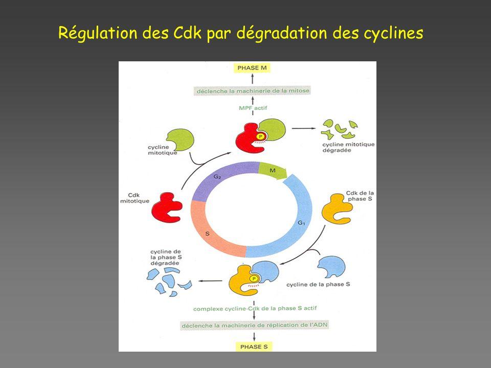 Régulation des Cdk par dégradation des cyclines