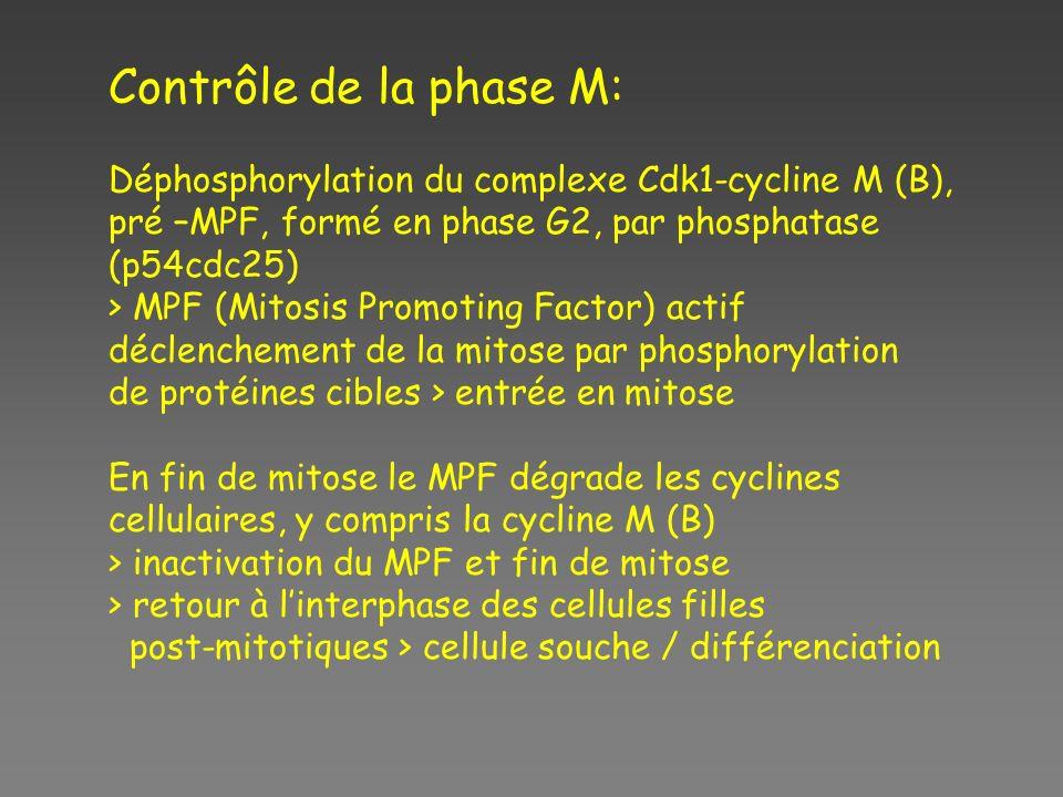 Contrôle de la phase M: Déphosphorylation du complexe Cdk1-cycline M (B), pré –MPF, formé en phase G2, par phosphatase (p54cdc25)