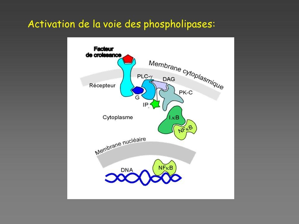 Activation de la voie des phospholipases: