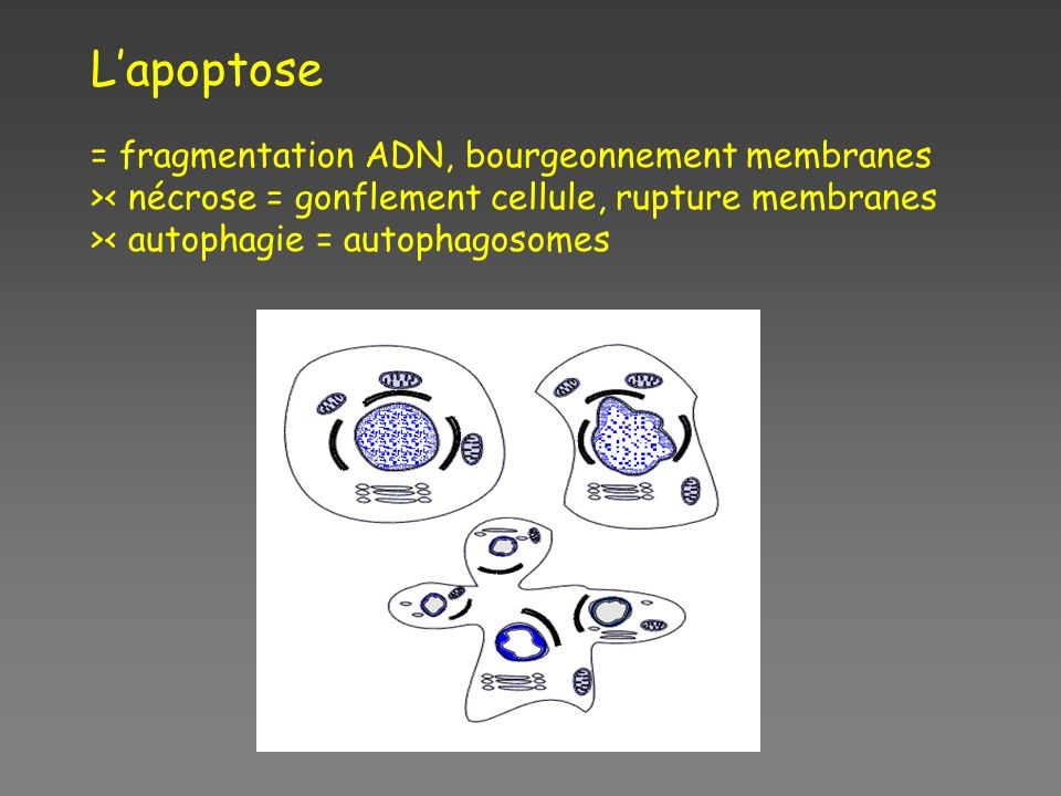 L'apoptose = fragmentation ADN, bourgeonnement membranes